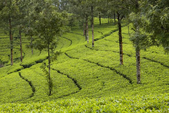 Tea_Gardens_of_Munnar