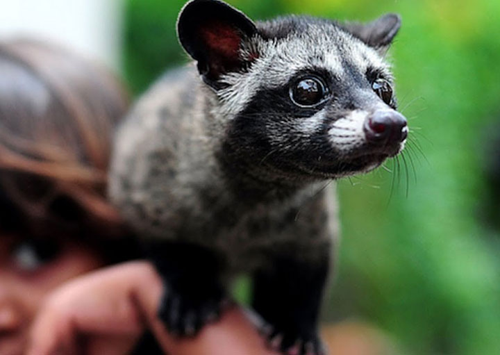Brown Palm Civet